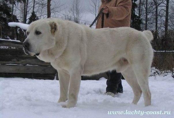 Алабай  подробности о породе собак среднеазиатская