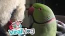 Thunder the Parakeet Playing Peekaboo ViralHog