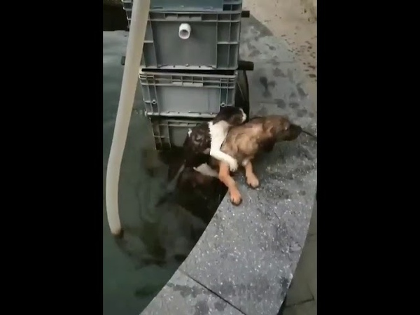 Dog Saves Cat from Water