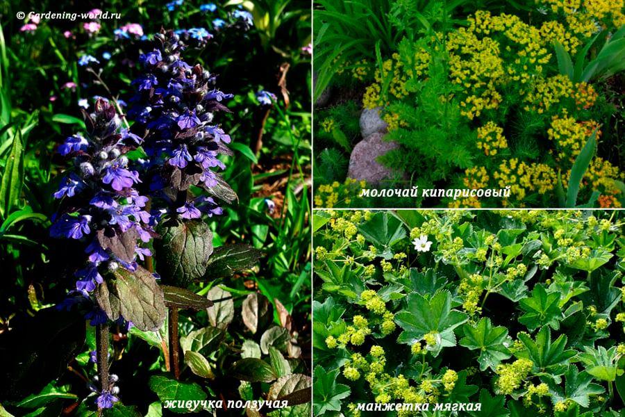 Почвопокровные растения для цветника с декоративными листьями