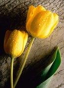"""Схема вышивки  """"Тюльпаны на камне """": комментарии."""