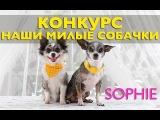 Милые собачки чихуахуа Софи и Эйван о КОНКУРСЕ