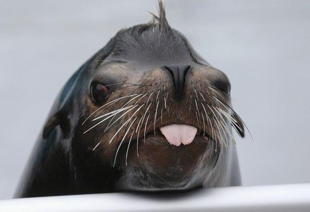 Морской лев по имени Осборн позирует журналистам во время пресс-показа в Нью-Йоркском аквариуме в Бруклине