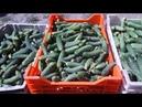 Выращивание огурцов в открытом грунте / Как заработать на выращивании огурцов