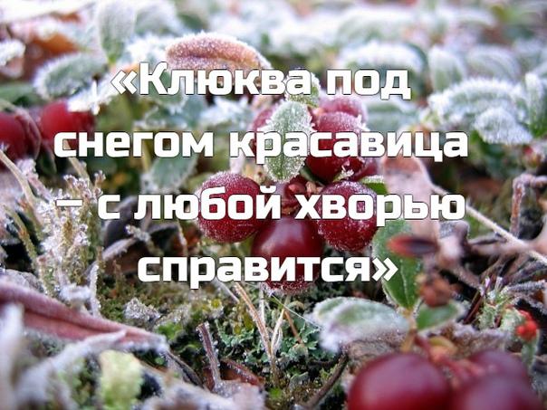 «Клюква под снегом красавица – с любой хворью справится»