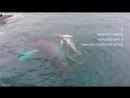 Горбатые киты в Тихом океане Коста-Рики и Панамы