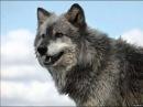 Белый орел одинокая волчица