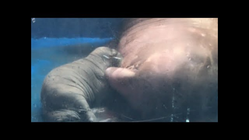 China's 1st Artificial Bred Walrus Gives Birth to A Baby
