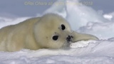 New born baby seal rolling on the ice