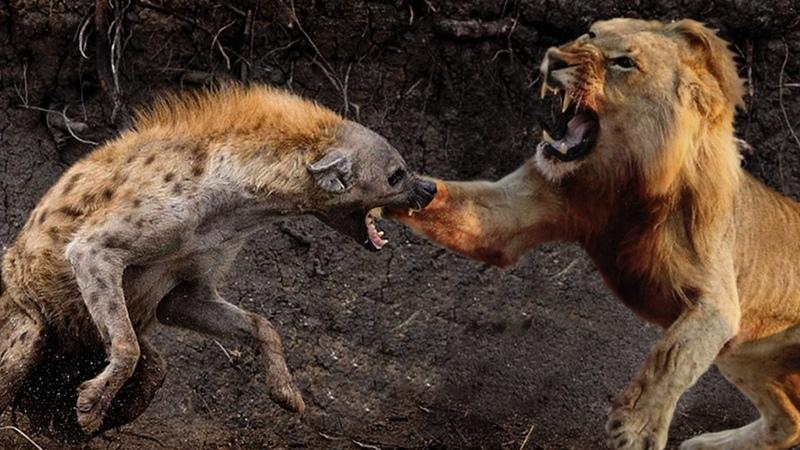 Pertarungan Seru Singa vs Anjing Hutan Hyena Perkelahian Hewan Pemangsa
