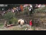 Девочка упала в вольер с пандами. 🐼
