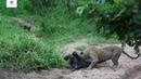Нильский крокодил против антилопы и леопарда