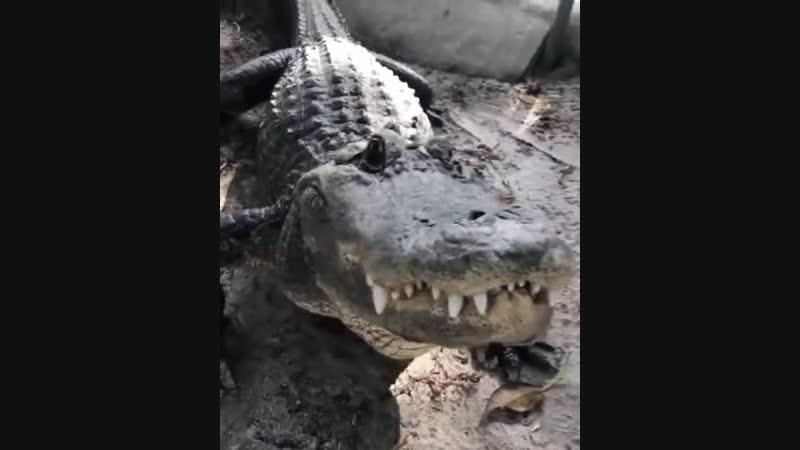 Крокодил рад видеть своего смотрителя)