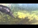 ЖЕСТЬ ЗМЕЕГОЛОВ НАПАЛ на КАРПА при Подводной охоте Казахстан