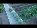 Убраны последние тыквы, урожайность тыквы в этом сезоне.
