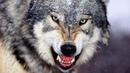 ВЛАД ПОРФИРОВ. КЛИП ОДИНОКИЙ ВОЛК . Lone Wolf