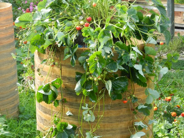 Выращивание клубники в бочке отзывы 53