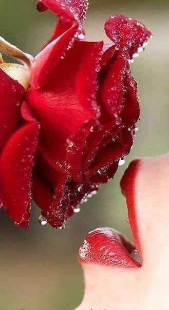Красная роза эмблема печали! Но как красиво!
