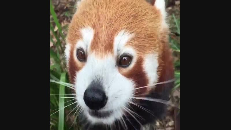 A beautiful Red Panda Eating Some Grapes