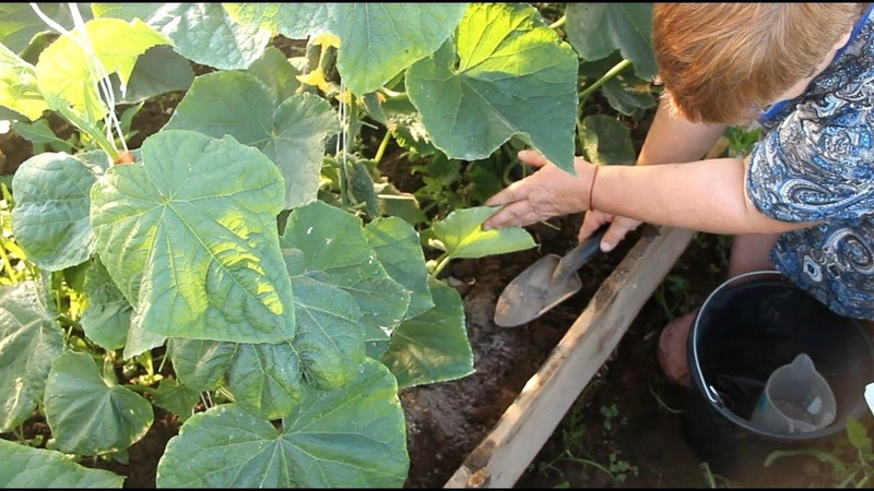 Во саду ли в огороде • После Этой Подкормки Урожай Огурцов Впечатляет!
