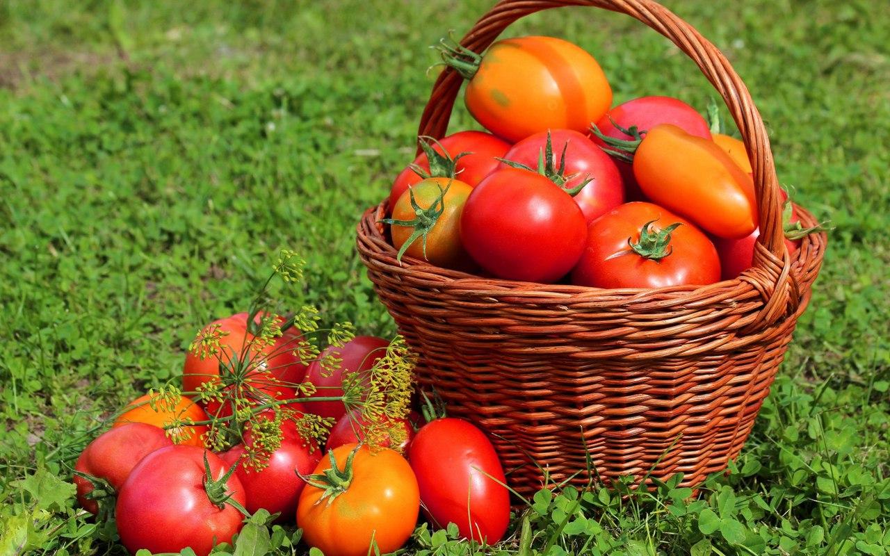 Метод выращивания томатов без полива 182