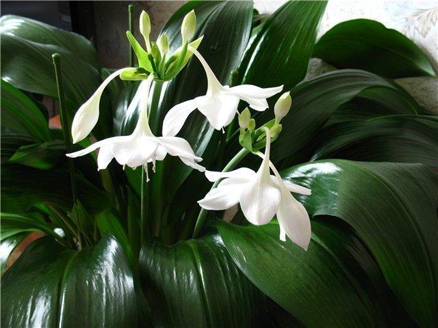 Луковичные цветы уход в домашних условиях фото 425