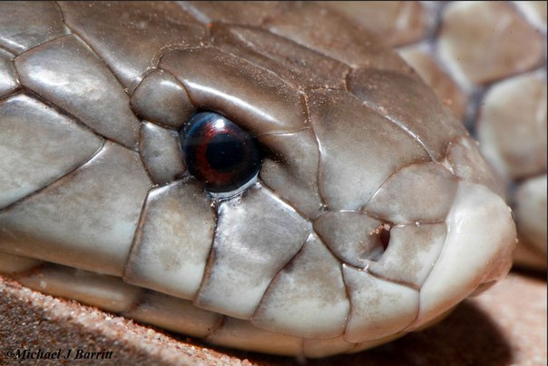 Мульга (Pseudechis australis)
