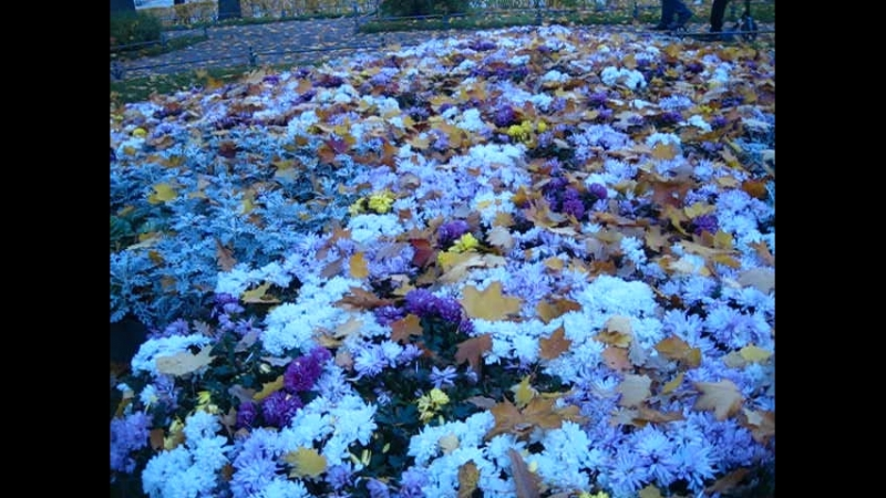 Внутренний двор Эрмитажа. Цветущие астры под желтыми листьями