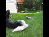 Husky plays with a fox cub
