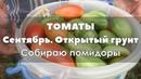 🍅 Удмуртия. Сентябрь. Убираю томаты открытого грунта.