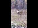 Медведь рвёт бычка