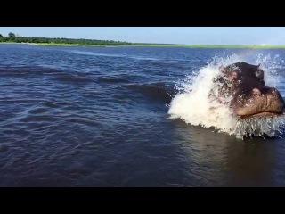 Гиппопотам гонится за лодкой