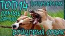 ТОП14 Самые популярные бойцовые породы собак БОНУС - ОКЕАН ФАКТОВ