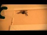 Опасность и ядовитый паук (Австралия)