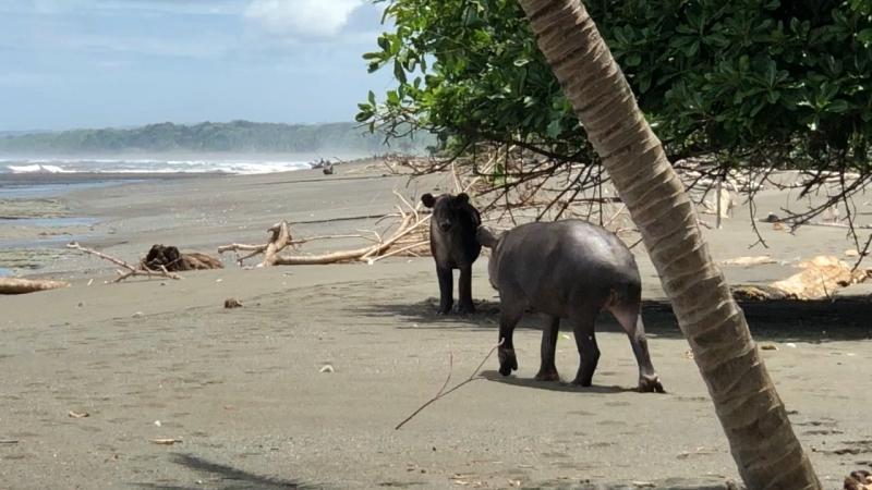 Mom and baby 👶 Tapir