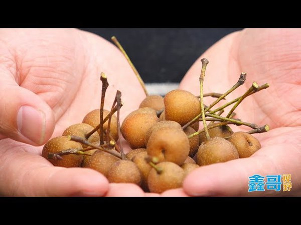 这可能是世界上最小的梨子了!还没手指头大,你见过吗?
