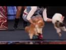 Кошки на шоу Америка ищет таланты