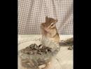 Chipmunk puu 😊 yummy❤️ 食いしん坊ぷぅ隊長♡
