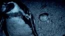 Humboldt Penguins Fight off Vampire Bats | BBC Earth