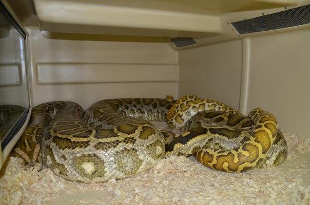 разведение змей