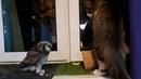 Ястребиная сова Ива охотится на кота Мурлока