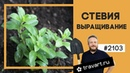 Стевия выращивание Самое сладкое растение ТРАВАТ 2103