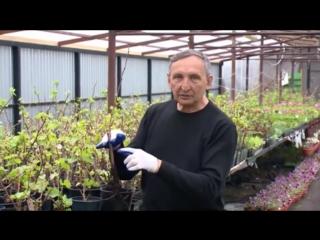 Как посадить саженец винограда - Посадка винограда - Как сажать виноград