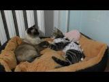 Кот ухаживает за кошкой после операции.