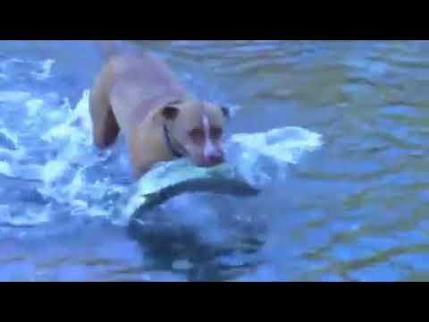 Pitbull balık avlıyor