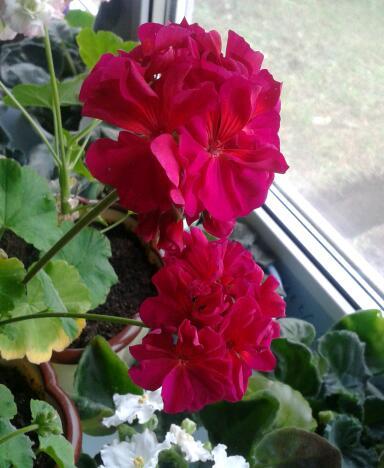 Цветы у Ликки KLpQFouL8Wg