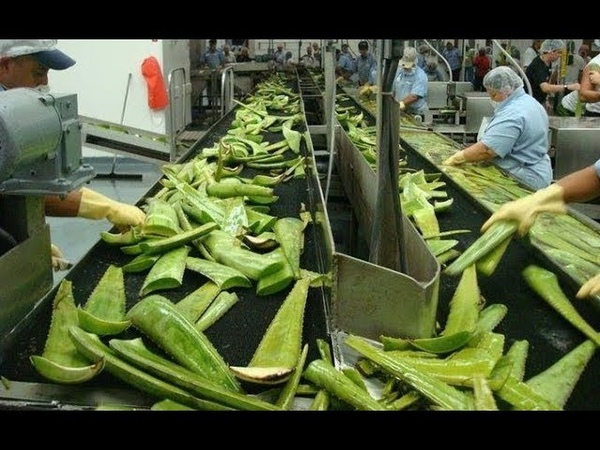 Agriculture Technology - Aloe Vera Farming