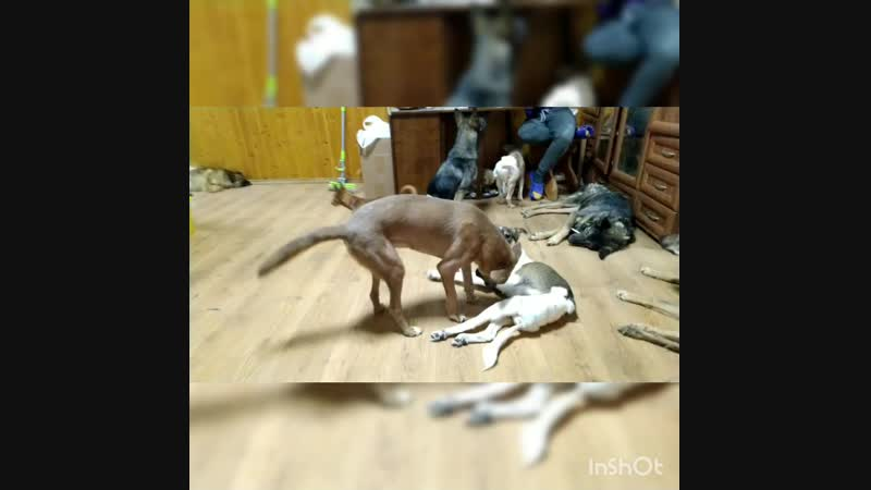 Собачка_Маргоша и Джо_Луис