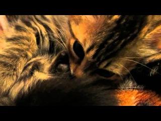 Котенок сосет ухо