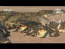 《БОРЬБА ЗА ЖИЗНЬ》Вызов самому большому крокодилу.